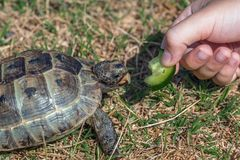 Feeding the turtle. Land based Central Asian turtle Stock Photos