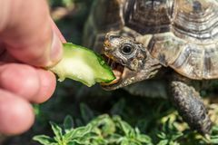 Feeding the turtle stock images