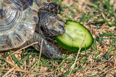 Feeding the turtle. Land based Central Asian turtle Stock Images