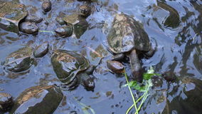 Feeding turtles in temple pond. On Penang island, Malaysia stock video footage