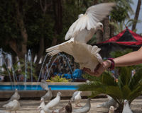 Feeding two flying white doves by the human in Benidorm park. Feeding two flying white pigeons doves by the human in Benidorm park Spain Royalty Free Stock Photo