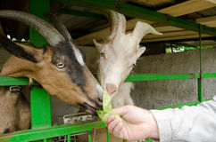 Feeding two goats. With green salad Stock Images