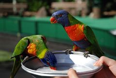 Feeding two rainbow lorikeets Stock Images