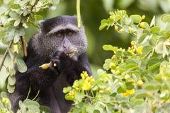 Feeding Velvet Monkey Stock Image
