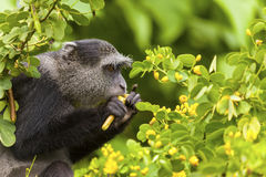 Feeding Velvet Monkey Royalty Free Stock Photo