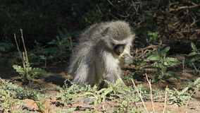 Feeding vervet monkey stock video footage