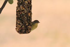 Feeding Vireo Stock Photography
