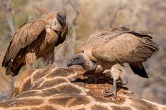 Feeding vultures Royalty Free Stock Photography