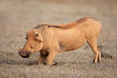 Feeding warthog Royalty Free Stock Photo