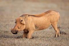 Feeding warthog Royalty Free Stock Photo