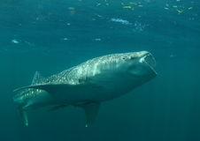 Feeding whale shark Royalty Free Stock Photography