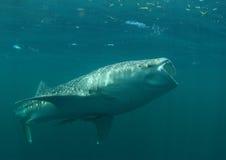 Feeding whale shark royalty free stock photography