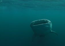 Feeding whale shark Royalty Free Stock Photos