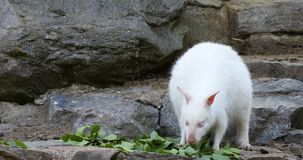 Feeding white albino kangaroo, Red necked Wallaby stock video footage