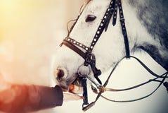 Feeding of a white horse carrots. Royalty Free Stock Photo