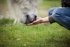 Feeding a white horse with hands Royalty Free Stock Photography
