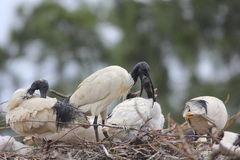 Australian White Ibis juvenile feeding royalty free stock photo