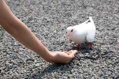 Feeding white pigeon Stock Photo