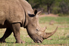 Feeding white rhino Stock Photo