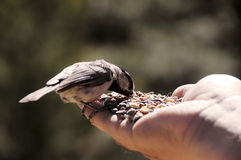 Feeding wild bird by hand Stock Photos