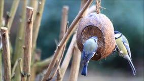 Feeding wild birds with fat birdseed stock video footage