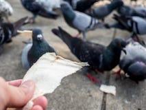 Feeding wild dove. Royalty Free Stock Photos