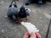 Feeding wild dove. Royalty Free Stock Photography