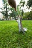 Feeding Wild Squirrel a Peanut Royalty Free Stock Photography