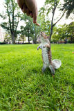 Feeding Wild Squirrel a Peanut Stock Images