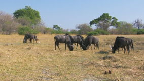 Feeding wildebeest herd stock video footage