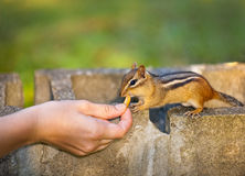 Feeding wildlife Royalty Free Stock Photos