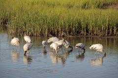 Feeding Wood storks 2 Stock Photos