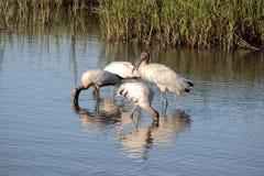 Feeding Wood storks wade in a coastal salt marsh. Royalty Free Stock Photo