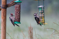 Feeding young great spotted woodpecker Stock Image