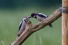 Feeding young great spotted woodpecker Stock Images