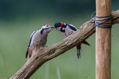 Feeding young great spotted woodpecker Royalty Free Stock Image