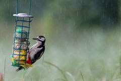 Feeding young great spotted woodpecker Royalty Free Stock Photo