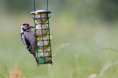 Feeding young great spotted woodpecker Royalty Free Stock Images