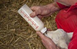 Feeding young mammal Stock Photos
