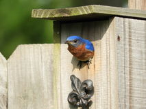 Feeding the Young. Nesting Bluebird feeding their young Royalty Free Stock Photography
