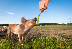 Feeding a young pig Royalty Free Stock Photos