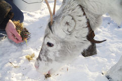 Feeding a young Reindeer Royalty Free Stock Image
