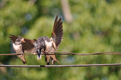 Feeding young swallow Stock Photos