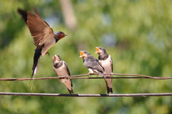 Feeding young swallow. Adult swallow feeding a young swallow Stock Photography