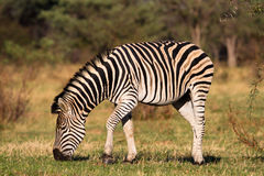 Feeding zebra Royalty Free Stock Image