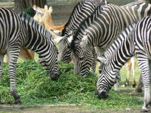 Feeding of zebras Stock Photo