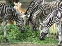 Feeding of zebras Stock Photo