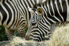 Feeding Zebras. Zebras grazing on grass and hay Stock Photography
