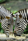 Feeding Zebras. A pair of zebras grazing on grass and hay Stock Photography