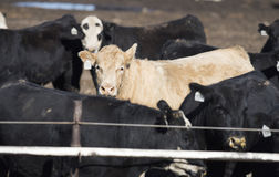 Feedlot Cows in the Muck and Mud Stock Images